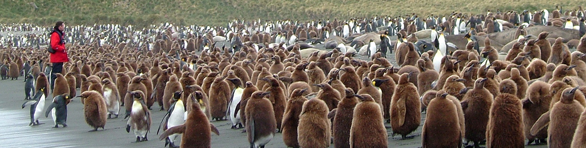 King penguins South Georgia island