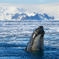 A humpback whale spyhopping in Antarctic waters